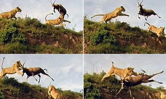 Viral Video Lions Scared Of Deer-వైరల్ వీడియో: రాంగ్ టైంలో ఎంట్రీ ఇస్తే ఇలా ఉంటుంది కాబోలు..-General-Telugu-Telugu Tollywood Photo Image-TeluguStop.com