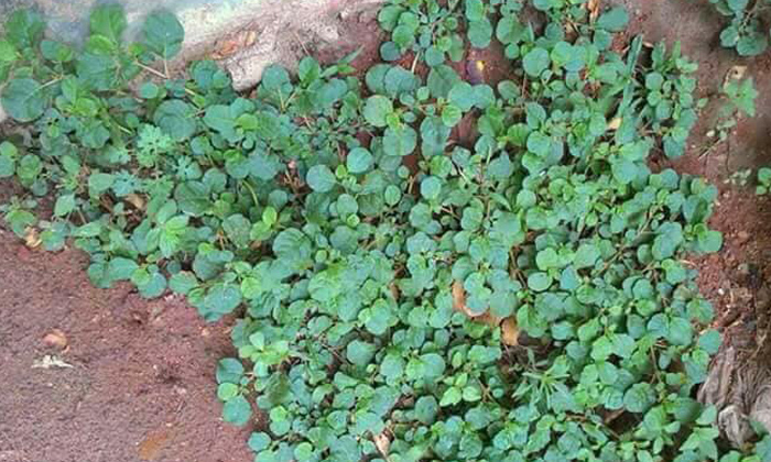 Benefits Of Eating Galijeru Leaves-TeluguStop.com