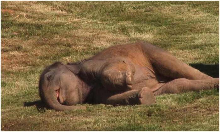 Viral Video Baby Elephant Didnt Wake Up From Sleep What Did The Mother Elephant Do With It-వైరల్ వీడియో: నిద్ర లేవని ఏనుగు పిల్ల.. దాంతో తల్లి ఏనుగు ఏం చేసిందంటే..-General-Telugu-Telugu Tollywood Photo Image-TeluguStop.com