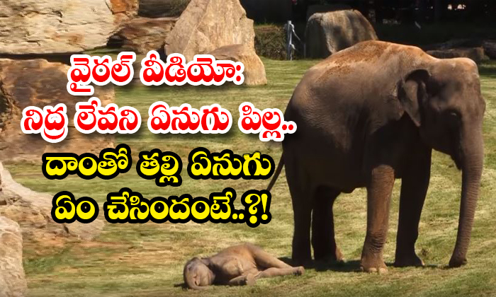 Viral Video Baby Elephant Didnt Wake Up From Sleep What Did The Mother Elephant Do With It-TeluguStop.com