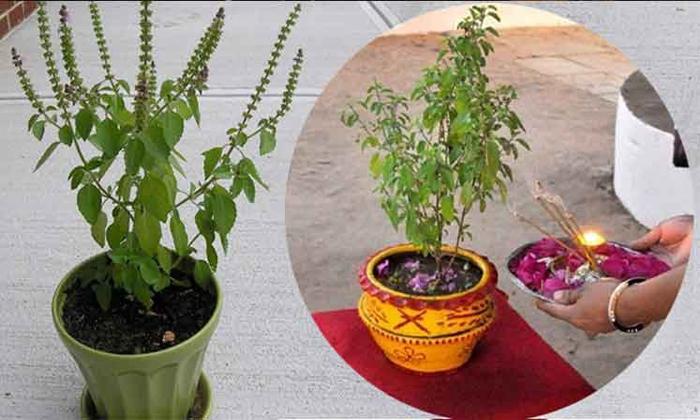 Are You Putting A Basil Plant There Beware Of Blame-తులసి మొక్కను అక్కడ పెడుతున్నారా… నిందల పాలవుతారు జాగ్రత్త..-Latest News - Telugu-Telugu Tollywood Photo Image-TeluguStop.com