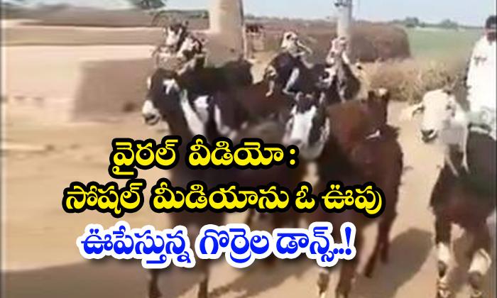 Viral Video Sheep Dance Rocking Social Media-TeluguStop.com