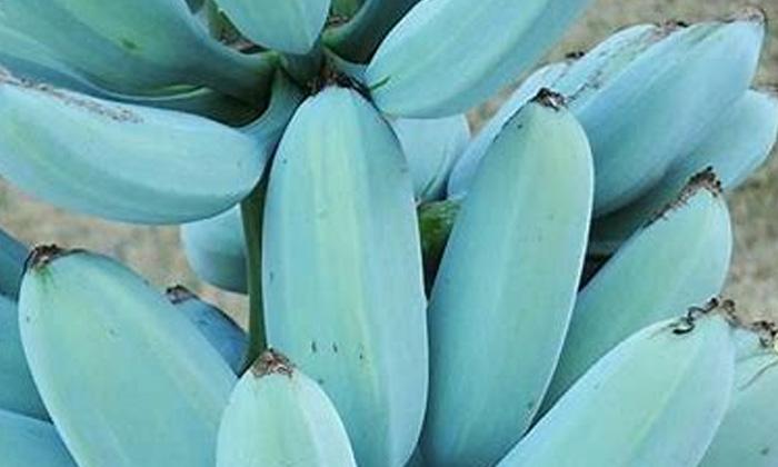 Blue Banana Same Like Venila Ice Cream Taste-నీలం రంగు అరటిపండ్ల గురించి మీకు తెలుసా.. అవి ఎక్కడ పండిస్తారంటే..-General-Telugu-Telugu Tollywood Photo Image-TeluguStop.com