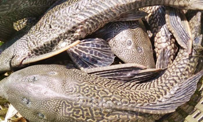 Viral This Fish Is Useful To Eat Because-వైరల్: ఈ చేప తినడానికి ఉపయోగపడదట.. ఎందుకంటే-General-Telugu-Telugu Tollywood Photo Image-TeluguStop.com