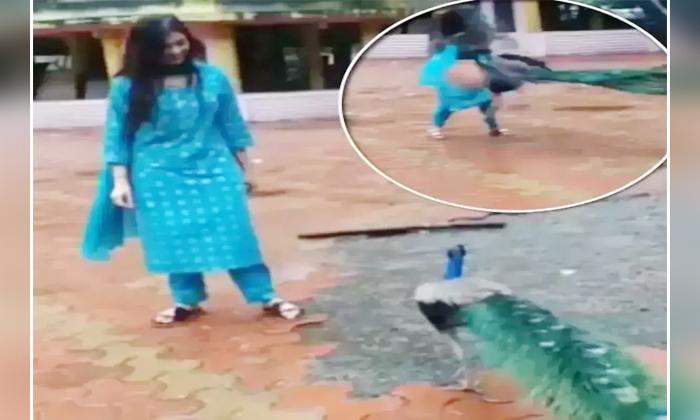 Viral Video Peacock Attacking Bigg Boss Star Divangana Suryavanshi-వైరల్ వీడియో… బిగ్ బాస్ స్టార్ పై దాడి చేసిన నెమలి-General-Telugu-Telugu Tollywood Photo Image-TeluguStop.com