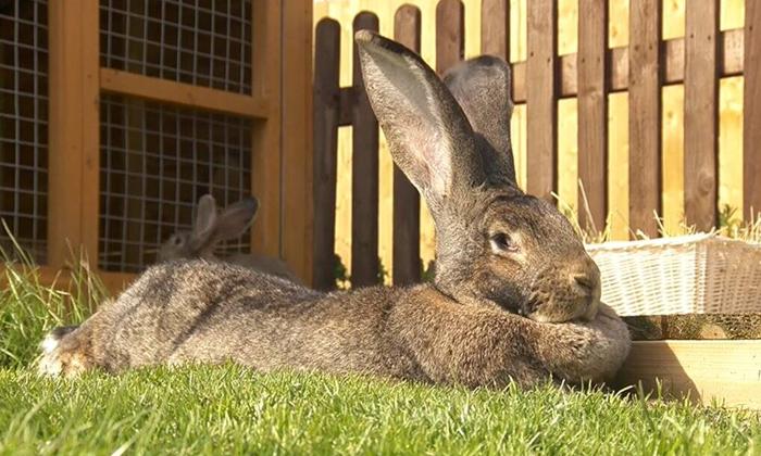 World Biggest Rabbit Stolen In England-మిస్సైన అతిపెద్ద కుందేలు.. ఆచూకి తెలిపిన వారికి భారీ పారితోషికం..-General-Telugu-Telugu Tollywood Photo Image-TeluguStop.com