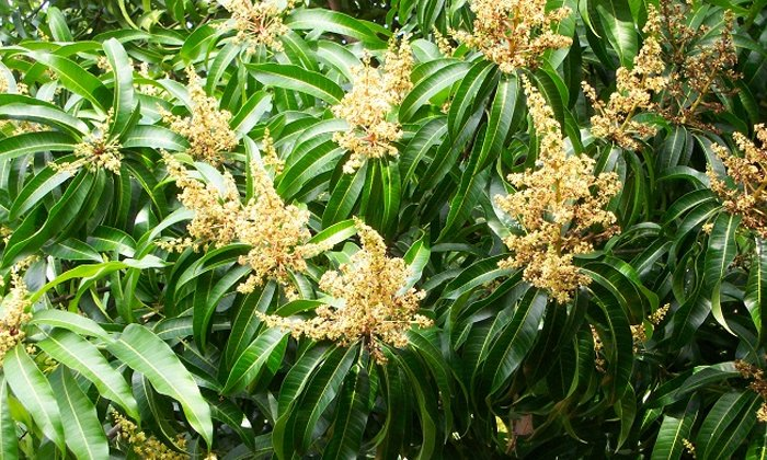 Mango Flowers Help To Reduce Mouth Ulcer-TeluguStop.com