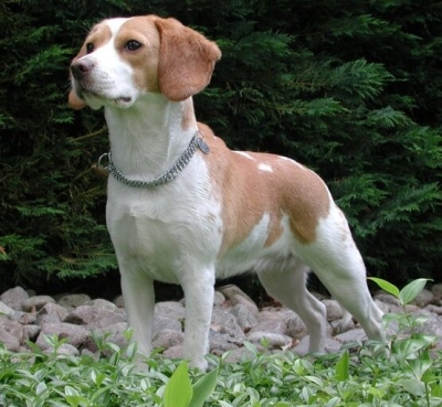 The Story Of How A Beagle Inspired NanoSniffer — An Explosives Detector With A Difference-General-English-Telugu Tollywood Photo Image-TeluguStop.com