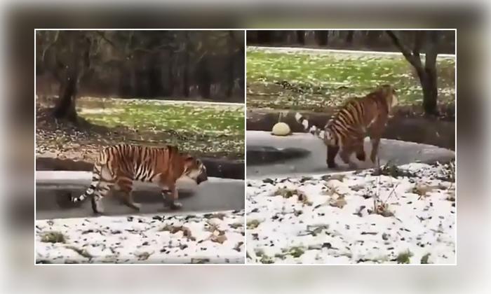 Viral Video Tiger Walking On Thin Ice Got Shocked When It Breaks-వైరల్ వీడియో: నీళ్ల దెబ్బకి బెంబేలెత్తిన చిరుత..-General-Telugu-Telugu Tollywood Photo Image-TeluguStop.com