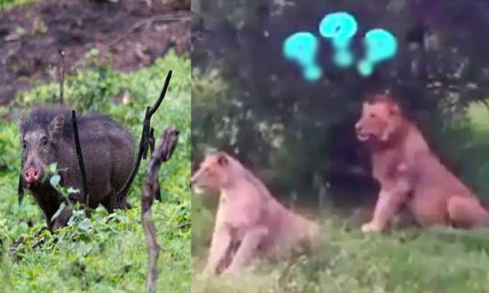 Viral Video Wild Boars Chasing Lions-వైరల్ వీడియో… సింహాలను హడలెత్తించిన అడవి పంది-General-Telugu-Telugu Tollywood Photo Image-TeluguStop.com