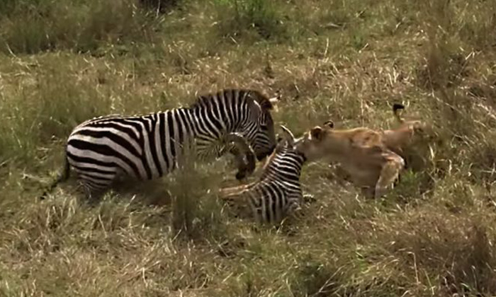 Viral Video Mother Zebra Fight With Lion-వైరల్ వీడియో…పిల్ల జీబ్రా కోసం తల్లి జీబ్రా భీకర పోరాటం-General-Telugu-Telugu Tollywood Photo Image-TeluguStop.com