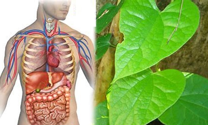 Health Benefits Of Tippa Teega Corona Time Tippa Teega-TeluguStop.com