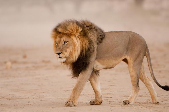 Hyderabad Lions Effected Sars Cov 2-హైదరాబాద్ సింహాలకు కరోనా కాదు.. అది సార్స్ కొవ్ 2..-General-Telugu-Telugu Tollywood Photo Image-TeluguStop.com