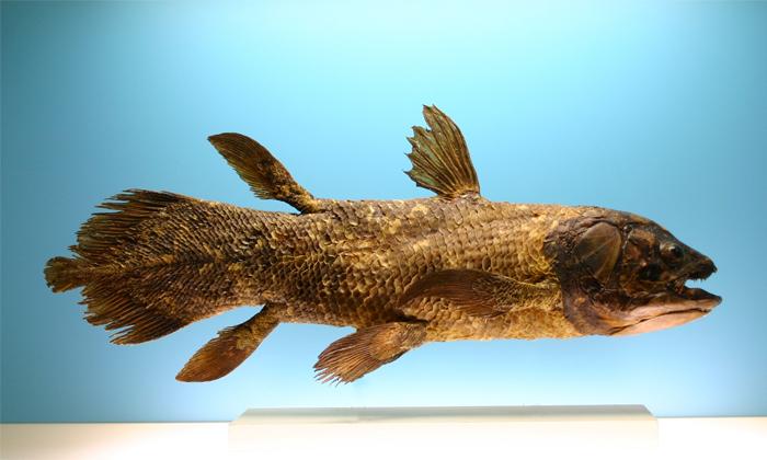 Viral Fishermen Caught Dinosaur Period Coelacanth Fish Near Madagascar-TeluguStop.com