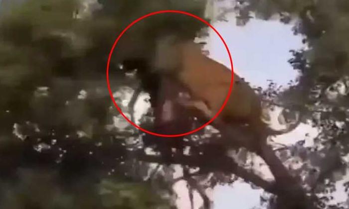 Viral Video Leopard Fight Between The Lion Finally-వైరల్ వీడియో : చిరుతపులి – సింహం మధ్య ఫైట్.. చివరికి…-General-Telugu-Telugu Tollywood Photo Image-TeluguStop.com