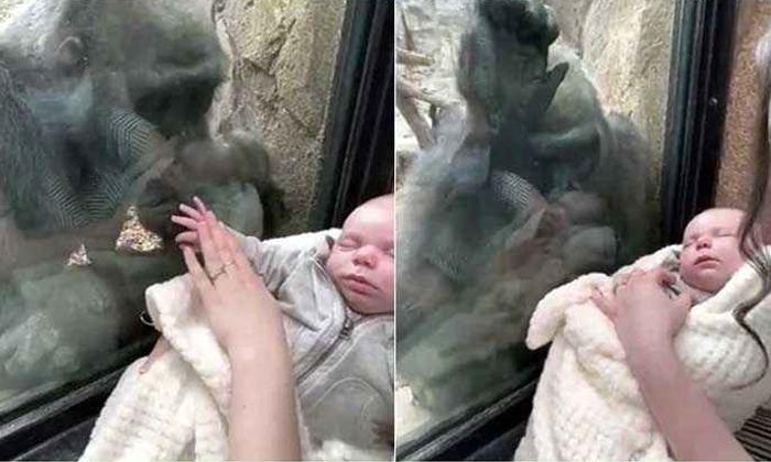 Viral Video Gorilla Playing With Baby In Franklin Park-వైరల్ వీడియో: తన తల్లి మనసును చాటుకున్న గొరిల్లా..-General-Telugu-Telugu Tollywood Photo Image-TeluguStop.com