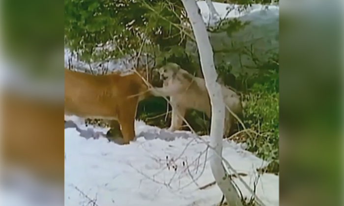 Viral Video Mountain Lion Forest Cat Fight At Last-TeluguStop.com