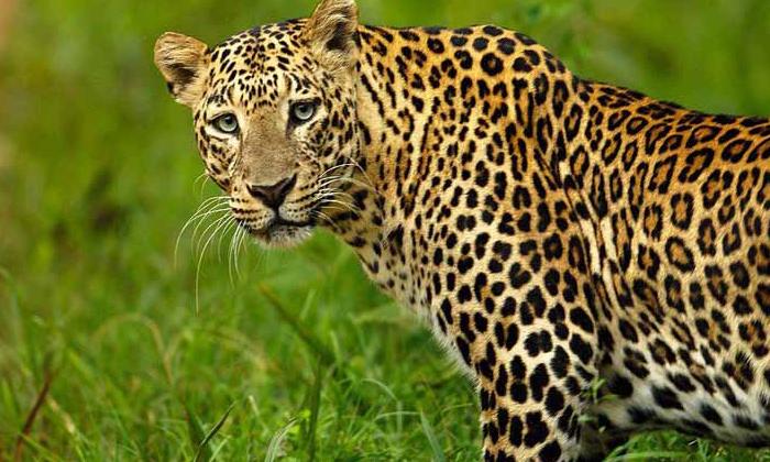 Nirmal District Leopard Roaming Public Panic-TeluguStop.com