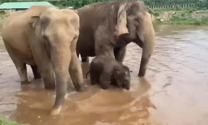 Viral Video Gajraj Family Enjoying In The River-TeluguStop.com