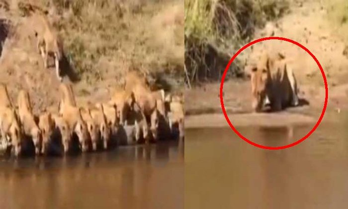 Anand Mahindra Shared A Video Of Lion Drinking Water Alone-TeluguStop.com