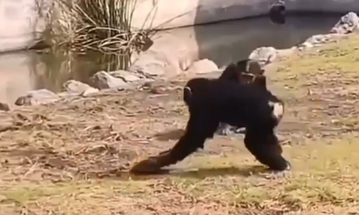 Viral Video Chimpanzee Playing Tribe With A Turtle-TeluguStop.com