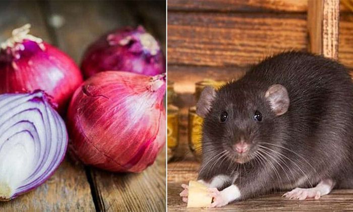 How To Get Rid Of Rats In House-TeluguStop.com