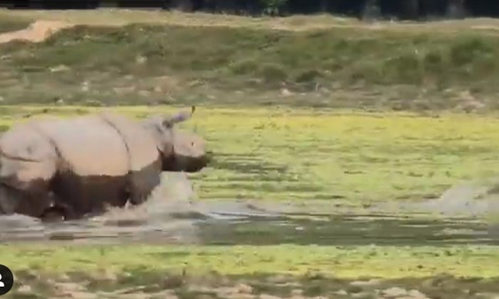 Viral Video Bengal Tiger Wants To Attack Rhinoceros But In The End-TeluguStop.com