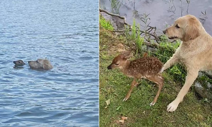 Viral Dog Saved The Deer Cub In The River-TeluguStop.com