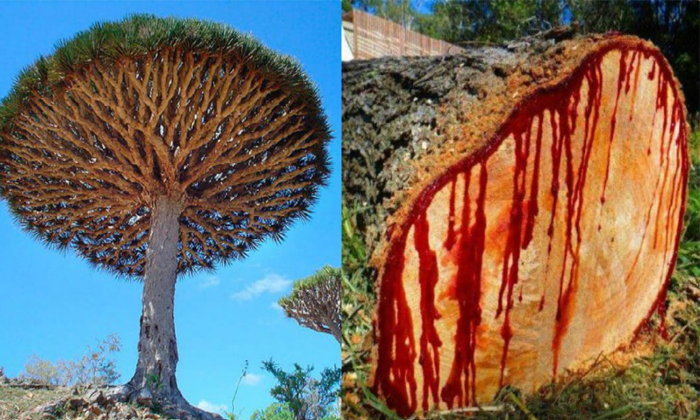 Viral Very Interesting Facts About The Dragon Blood Tree-TeluguStop.com