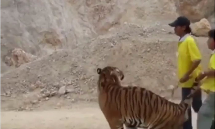 Viral Video What Would It Be Like To Play Games With A Tiger-TeluguStop.com