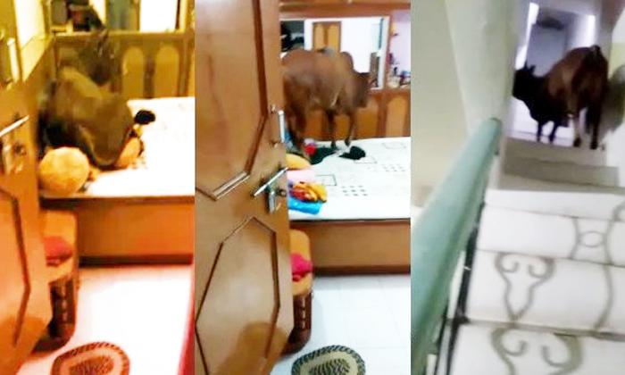 Viral Video An Bull Taking Rest In Three Story Building In Madhya Pradesh-TeluguStop.com