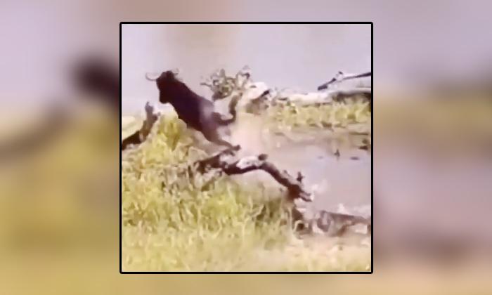 Viral Video Crocodile Attacks Buffalo Drinking Water At River-TeluguStop.com
