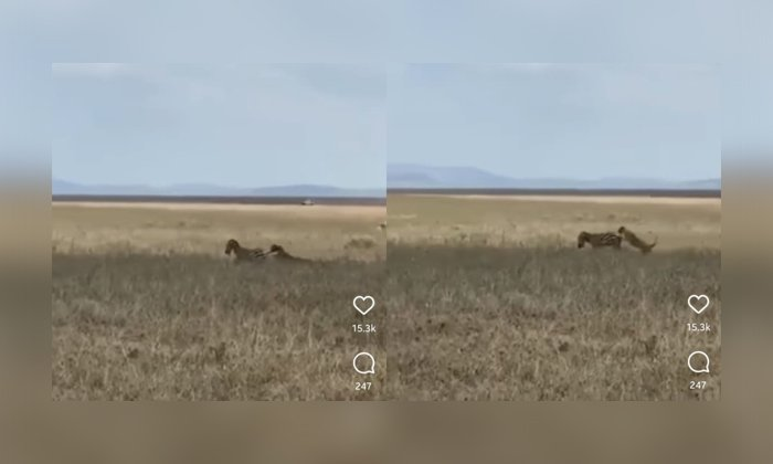 Viral Video Zebra Kicks The Lion With Its Two Back Legs-TeluguStop.com