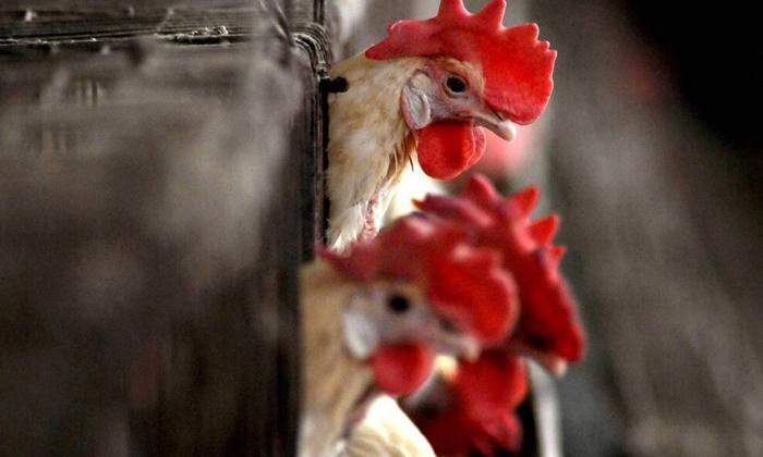 First Bird Flu Death India Aiims Delhi-TeluguStop.com