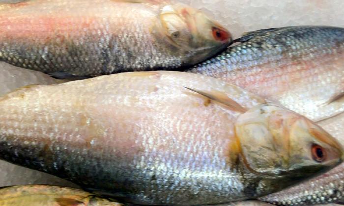 Huge Demand Pulasa Fish Cost Godavari-TeluguStop.com