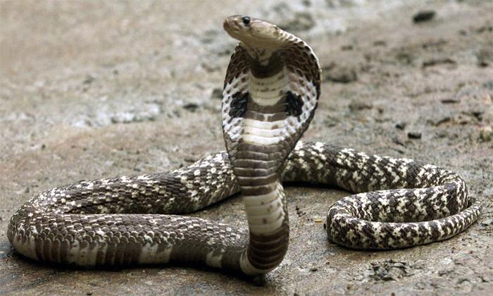 Viral Video Snake Dance On The Road-TeluguStop.com