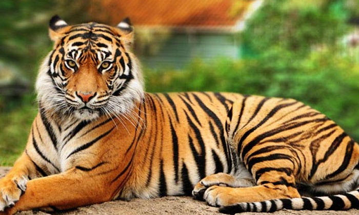 The Tiger That Attacked The Deer At Once Find Out What Is In This Photo-TeluguStop.com