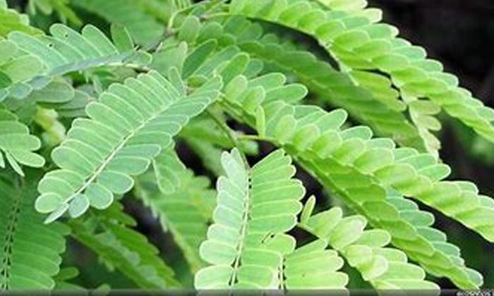 Long Hair Hair Care Hair Care Tips Hair Basil Leaves Tamarind-TeluguStop.com