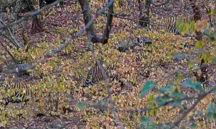 Viral Photo How Many Tigers Are There In This-TeluguStop.com