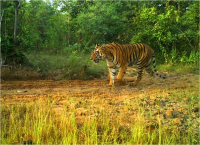 Steady Increase In Number Of Tigers In Telangana-TeluguStop.com