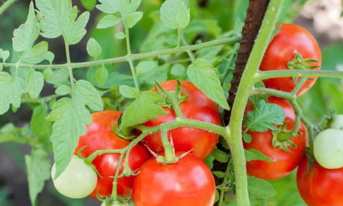 Shock To Know About This Method Of Having Tomatoes-TeluguStop.com