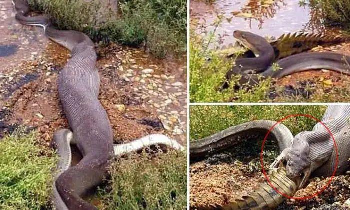 Viral Vammo How Did That Little Crocodile Swallow Such A Huge Crocodile-TeluguStop.com