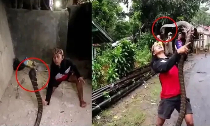 The Viral Video A Woman Shows Courage In Catching The King Cobra-TeluguStop.com