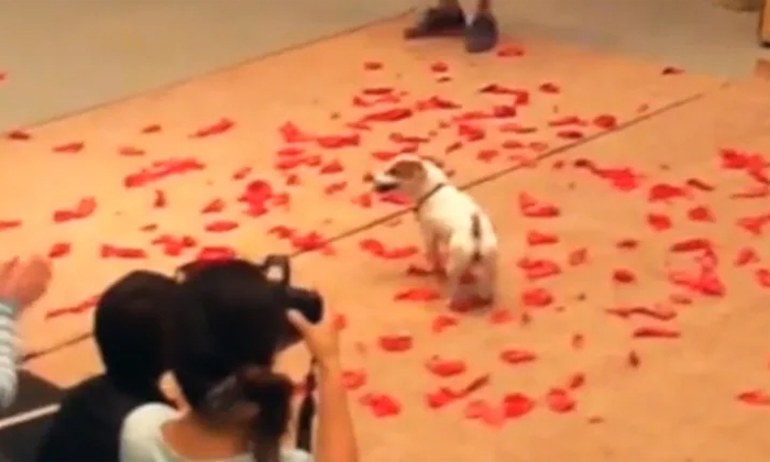 Viral Video Dog Creates Guinness World Record By Blasting More Balloons In Less Time-TeluguStop.com