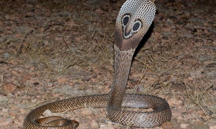 Cobra Venom Is Very Shocking To Know The Price Of A Liter-TeluguStop.com