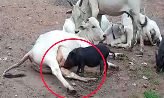Is The Prophecy Of Brahman True Cow Milking A Pig-TeluguStop.com