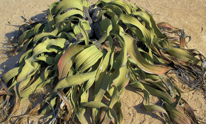 Viral This Plant Dries Up Forever What Is The Reason-TeluguStop.com