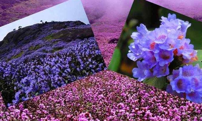 Neelakurinji Flowers That Bloom Once In 12 Years Blossom In Kerala-TeluguStop.com