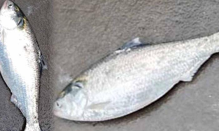 Pulasa Fish Na Majaka For Reprint Rights-TeluguStop.com