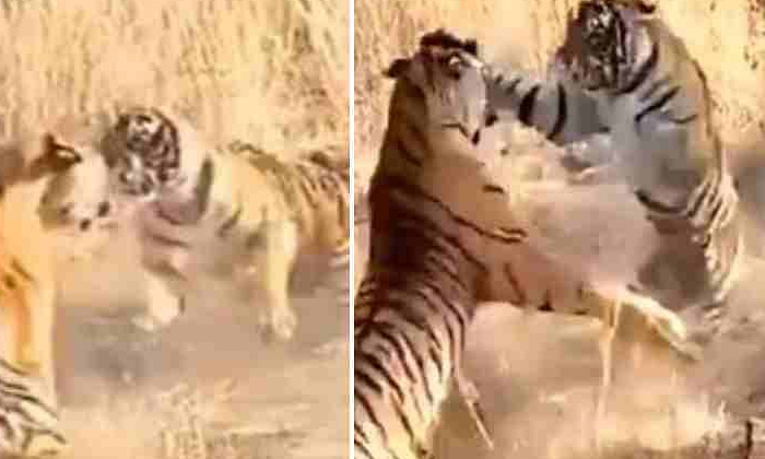 Fight Between Two Tigers Viral Video-TeluguStop.com